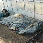 Protection sous feutre des semis de tomates, concombres, cougettes et aubergines contre le gel nocturne