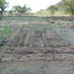 Paillage après semis des navets et haricots