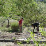 Replantation des concombres